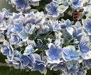 【開花株】アジサイ(紫陽花、あじさい) コンペイトウ スマイル 5号苗【20年入荷株】