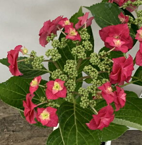 【花咲き進み】アジサイ(紫陽花、あじさい) 火の鳥(ヒノトリ) 5号鉢植え【21年入荷株】