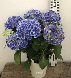 【開花株】アジサイ HBA チボリ ブルー 5号鉢【21年入荷株】