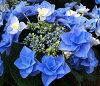 Hydrangea fairy is blue No. 6 seedlings