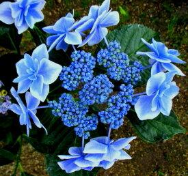 【花咲き過ぎ】アジサイ(紫陽花・あじさい)コンペイトウ ブルー 5号鉢苗【21年入荷株】
