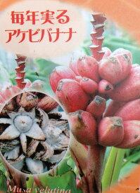 アケビバナナ (ピンクバナナ) 3.5号苗(f14)