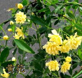 モッコウバラ 八重咲き 3.5号苗(J3-8)