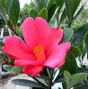 作为四季盛开杜鹃花山茶(山茶)0.9m 71151《园艺树木以及盆栽受欢迎的山茶的树苗》