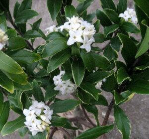 斑入り沈丁花(ジンチョウゲ)白花