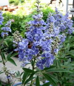 【送料無料】セイヨウニンジンボク 紫 8号鉢植え 大株 落葉樹 庭木 (i7)
