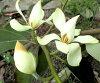 ogatamamikeria(深山含笑)苗