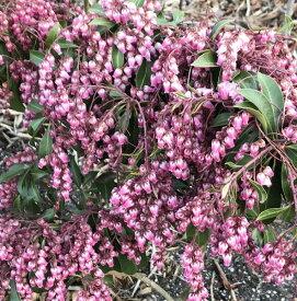 アセビ 苗木 濃いピンク 50cm