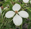 Dogwood (Cornus kousa) blooming Mary Tetra 2.2 m 3001