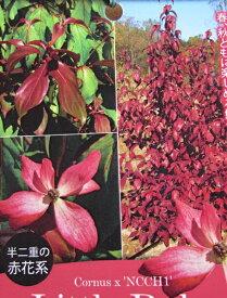 常緑ヤマボウシ 赤花 リトルルビー 苗木  1.4m