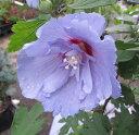 ムクゲ ローズオブシャロン 青いシフォン 6号苗 (e3)