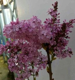 ライラック 紫花 7号ポット 苗木(e5)