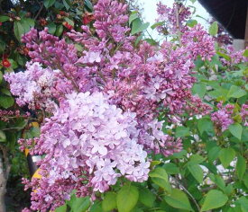 ライラック(リラ) 苗木 紫花 1.1m《密生して咲く芳香のある花》