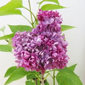 ライラック ミシェルブッチャー 苗木 7号 八重咲き品種(i10)