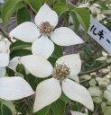 【現品4種】山法師(ヤマボウシ) 白花「ミルキーウェイ」 1.8m