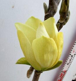黄花モクレン エリザベス 苗木 0.9〜1m