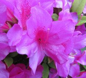 平戸ツツジ(ヒラドツツジ)紫 40cm×5本セット