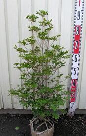 ドウダンツツジ 苗木  70〜80cm 《花、紅葉が美しい庭木、鉢植えなどに》