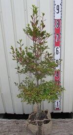 ドウダンツツジ 苗木  70cm 《花、紅葉が美しい庭木、鉢植えなどに》