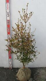 ドウダンツツジ 苗木  樹高70cm 《根巻き苗、花、紅葉が美しい庭木、鉢植えなどに》
