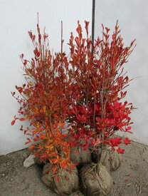 ドウダンツツジ生垣用 約50〜60cm×5本セット【送料無料】《根巻き苗、花、紅葉が美しい庭木》