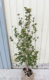 ドウダンツツジ 苗木  80cm 《花、紅葉が美しい庭木、鉢植えなどに》
