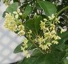四季盛开银木樨(シキザキギンモクセイ)暖水瓶苗