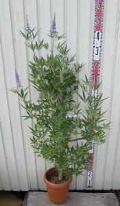 西洋ニンジンボク(セイヨウニンジンボク) 紫 10号 大株 落葉樹 庭木