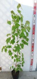 ベニカエデ アメリカハナノキ レッドサンセット 苗木 1.2m(z2-2)