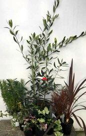 オリーブの木の洋風お庭セット ローズマリー ヘデラ(2個) コプロスマ ハツユキカズラ(2個) ドラセナレッドスター