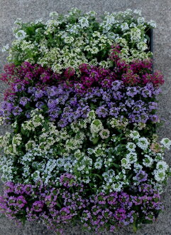Alyssum seedlings 40