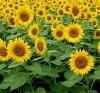 Sunflower sunflower seeds 0.5 kg
