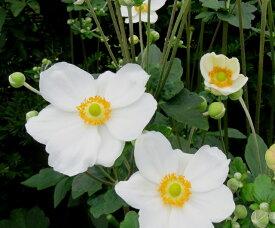 秋明菊(シュウメイギク)白一重 3.5号苗(b13)