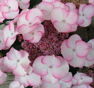【花終わり】アジサイ(紫陽花・あじさい) 空色のしずく ピンク 5号鉢植え【21年入荷株】