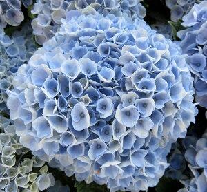 【開花株】アジサイ(紫陽花・アジサイ) マジカルレボリューション(ブルー) 5号鉢植え【21年入荷株】