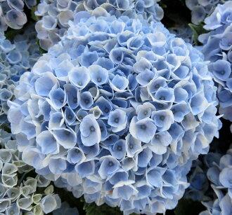 繡球花音樂革命 5 植物