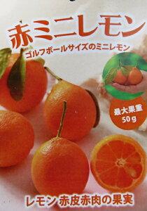 【現品/実付き】赤ミニレモン 6号 苗木 6144