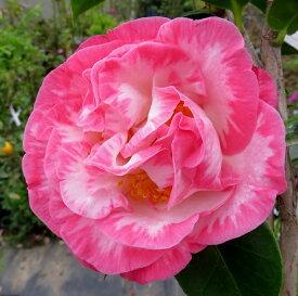 【現品】 西洋椿(ツバキ)マーガレットデービス 苗木 8号鉢植え 42002(g9-2)