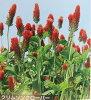 Crimson clover seed 0.5 kg
