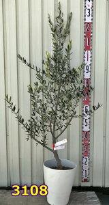 【選べる現品発送】オリーブの木 ルッカ 苗木 7号鉢植え 樹高90cm
