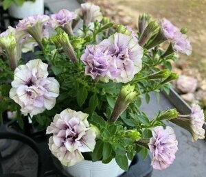 ペチュニア 八重咲き「シュピネ」3号苗(b04)