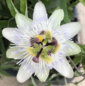 トケイソウ(時計草)白花系 5号苗(c9)