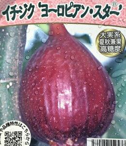 イチジク ヨーロピアンスター(大実系・夏秋兼果) 5号ロングポット植え 苗木(k11)