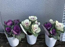 【3色から選ぶ】ミニハボタン(葉牡丹)寄せ植えポット苗 2.5号苗