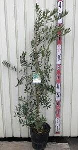 【人気の品種で選ぶ】オリーブの木 苗木 8号ポット植え「樹高約1.2m」 r