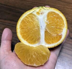 みかんの木(蜜柑) 苗木 スイートスプリング 接ぎ木苗 5号