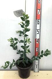 パールアカシア ポダリリーフォリア(ボダリリーフォリア) 6号苗(h01)