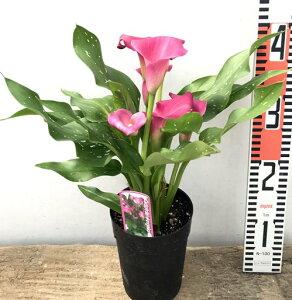 【花咲き進み】カラー キャプテン アンジェロ(ピンク) 4号鉢植え(b19)