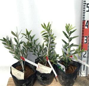 【3品種から選べる】オリーブの木 苗木 5号ポット植え(e06)