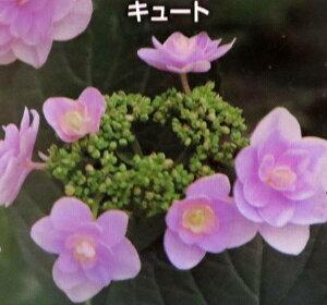 【屋外管理苗】アジサイ(紫陽花・あじさい) キュート 4号苗(J11)